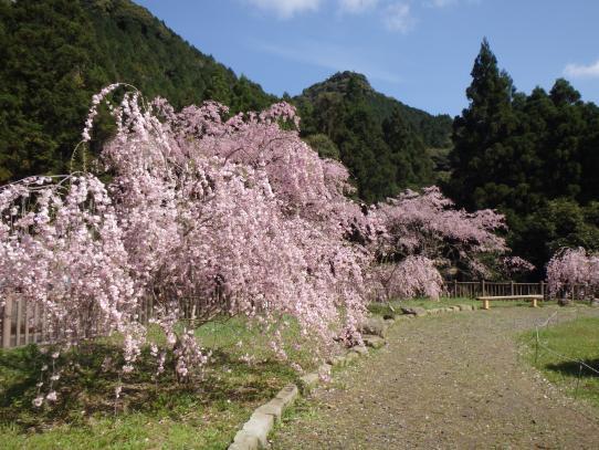 佐々町のしだれ桜