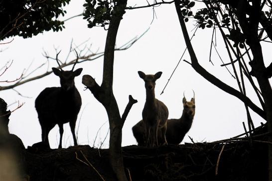 野崎島 野生の鹿1
