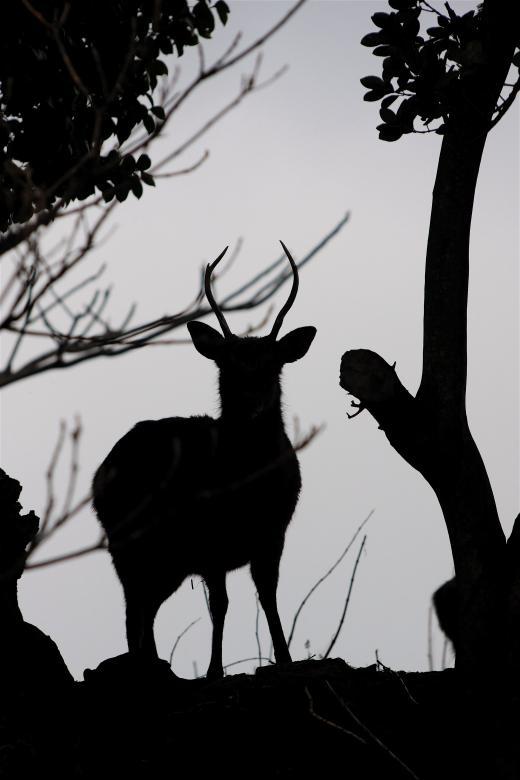 野崎島 野生の鹿2