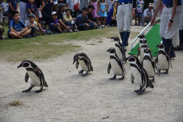 長崎ペンギン水族館(フンボルトペンギンの散歩)