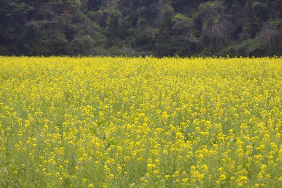 展海峰菜の花2