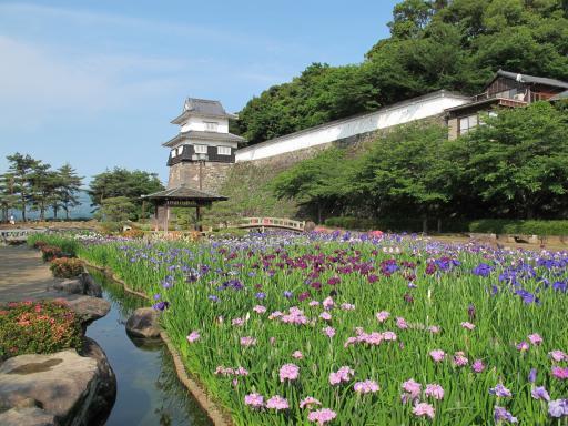 大村公園(花菖蒲)4