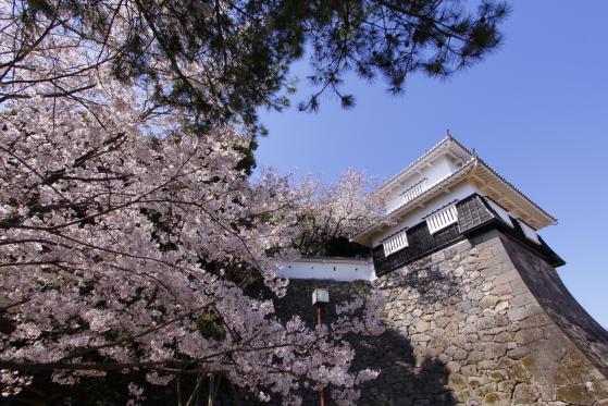 大村公園(桜)3