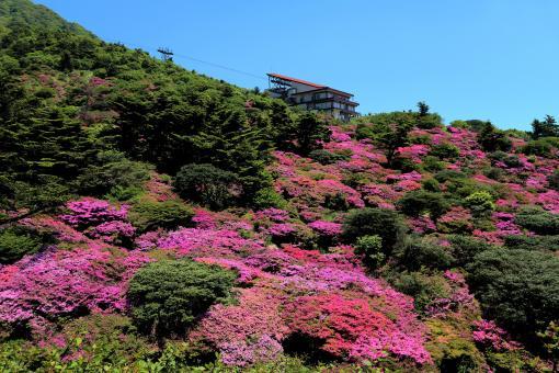 雲仙 仁田峠のミヤマキリシマ