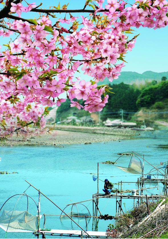 河津桜とシロウオ漁