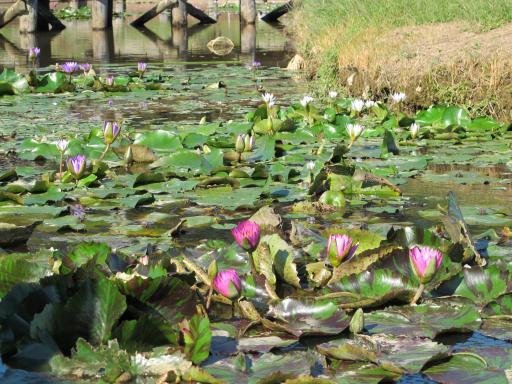 唐比湿地公園・唐比ハス園2