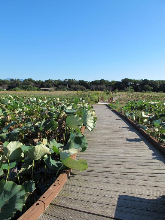 唐比湿地公園・唐比ハス園3