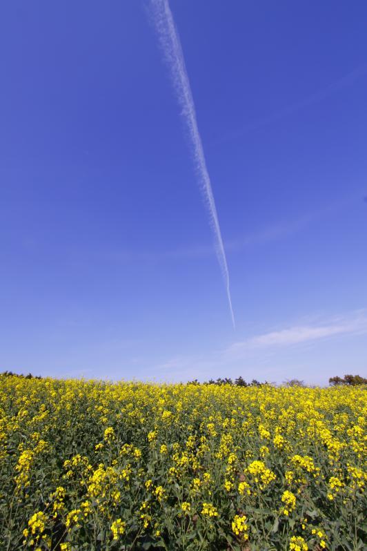 白木峰高原(菜の花)1