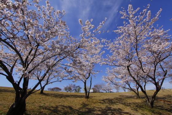 白木峰高原(桜)
