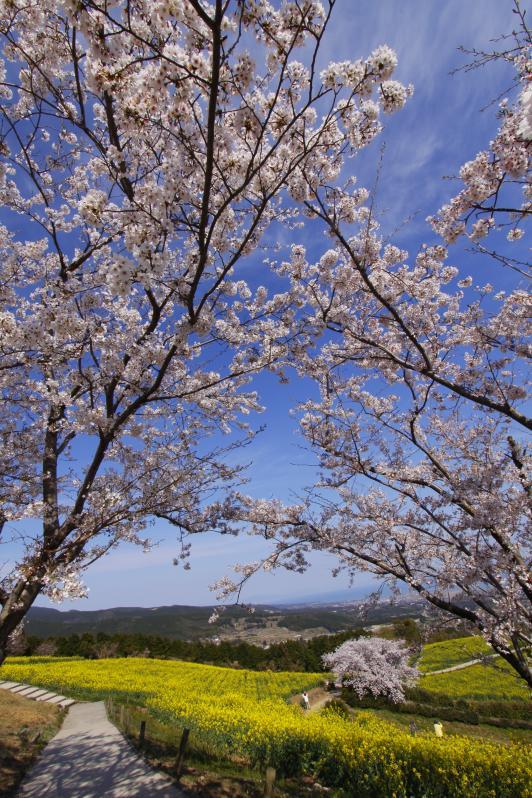 白木峰高原(桜と菜の花)1