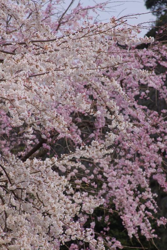 島原城の桜1