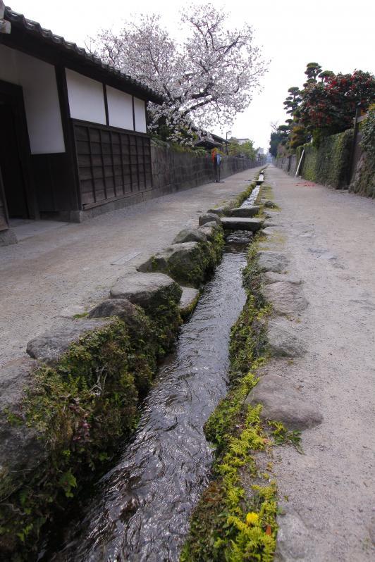 島原武家屋敷(桜)4
