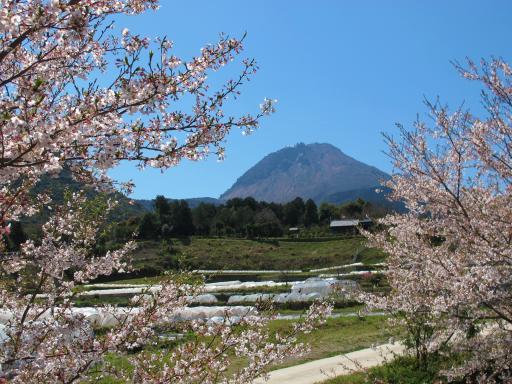 平成新山と桜