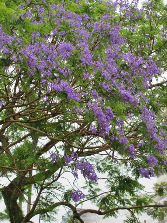 ジャカランダの木(小浜町)3