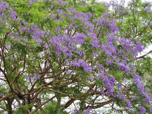 ジャカランダの木(小浜町)5