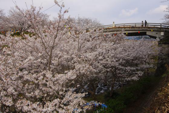 橘公園(桜)2