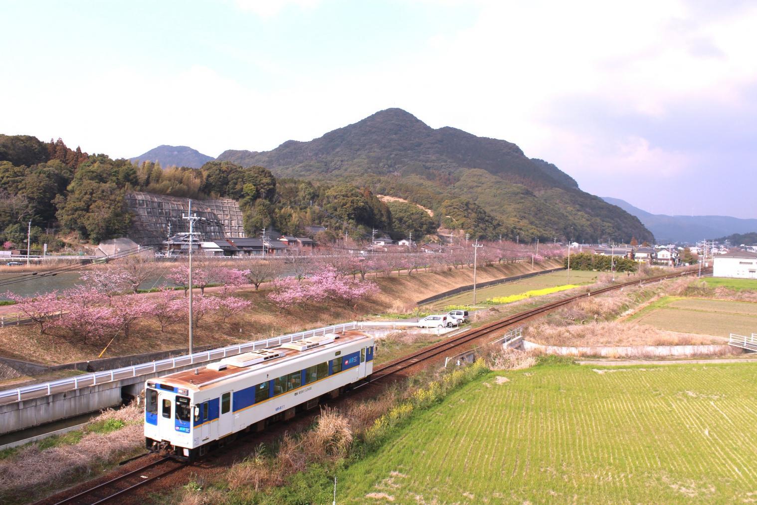 ◆河津桜・菜の花×松浦鉄道のある風景-0