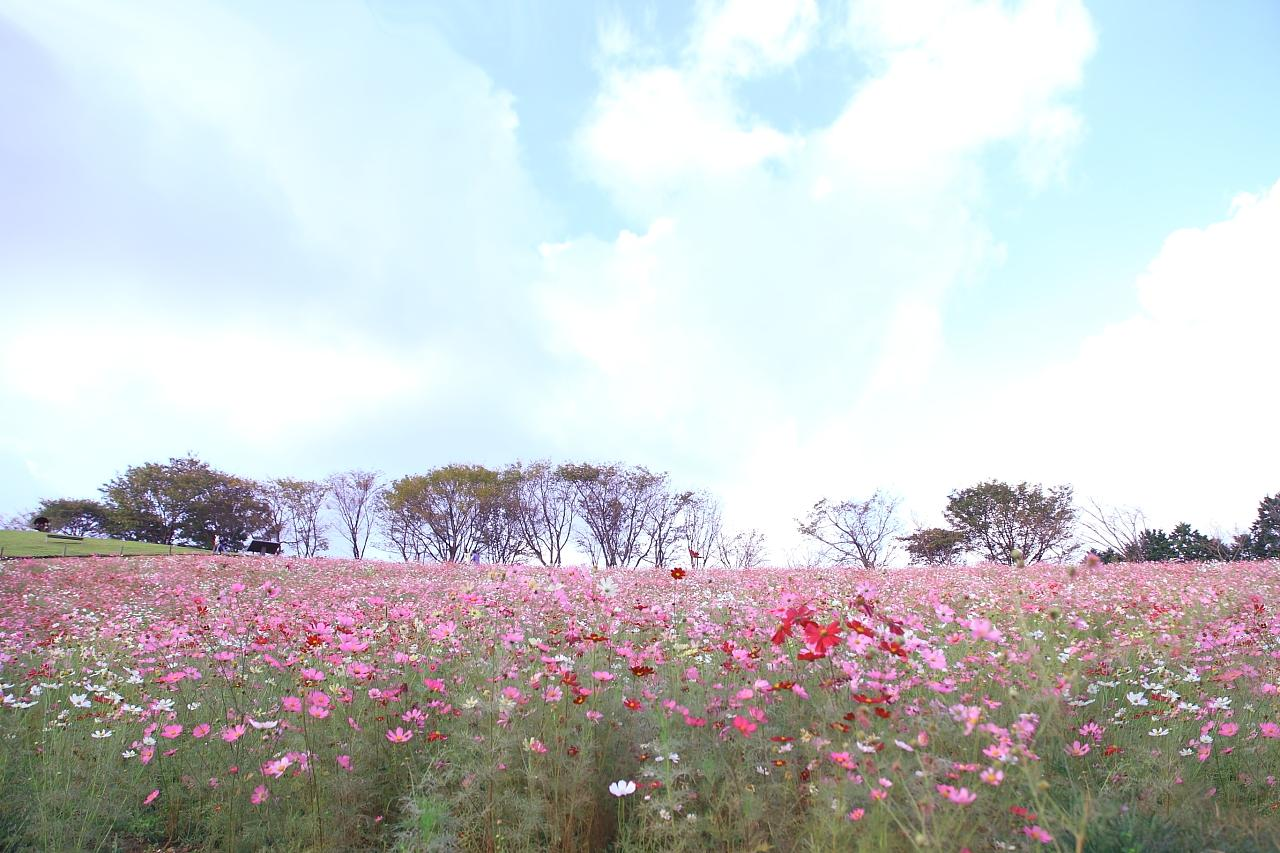 約20万本のコスモスが咲き乱れる「白木峰高原」-2