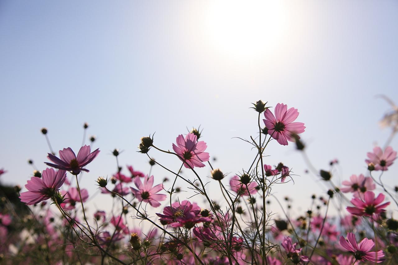 約20万本のコスモスが咲き乱れる「白木峰高原」-1