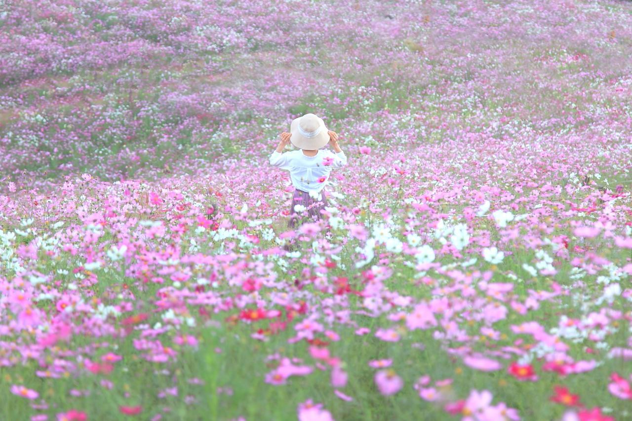 約20万本のコスモスが咲き乱れる「白木峰高原」-0