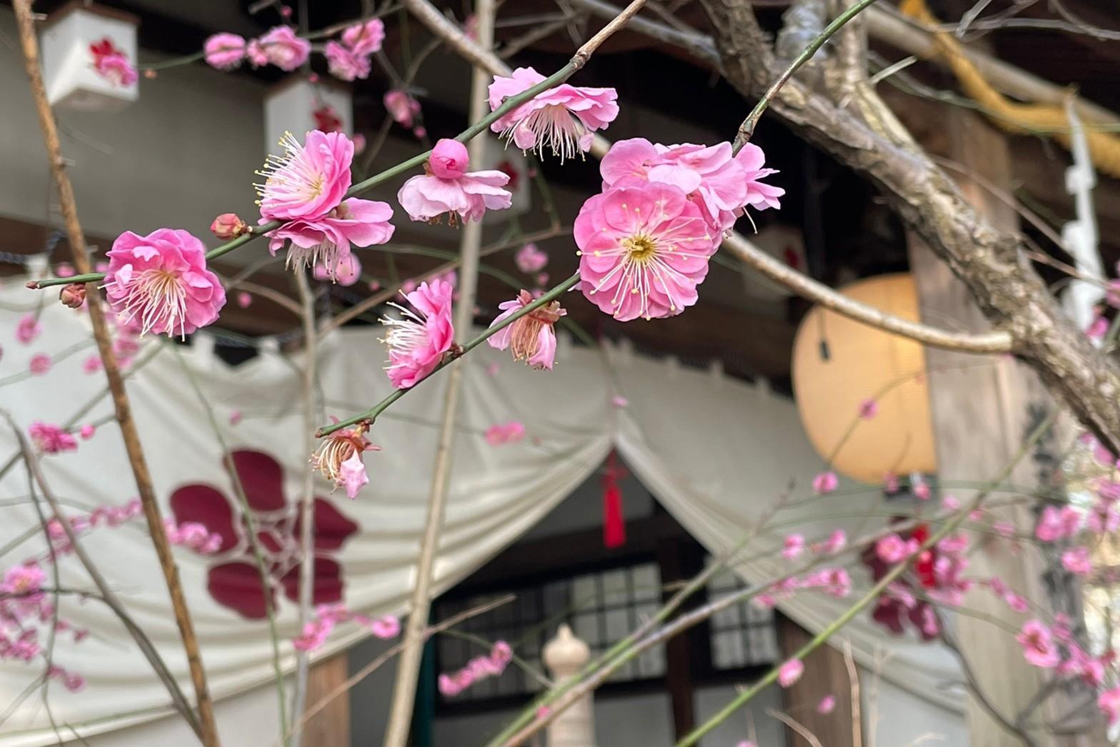長崎市 松森神社(松森天満宮)の梅 春の気配-1