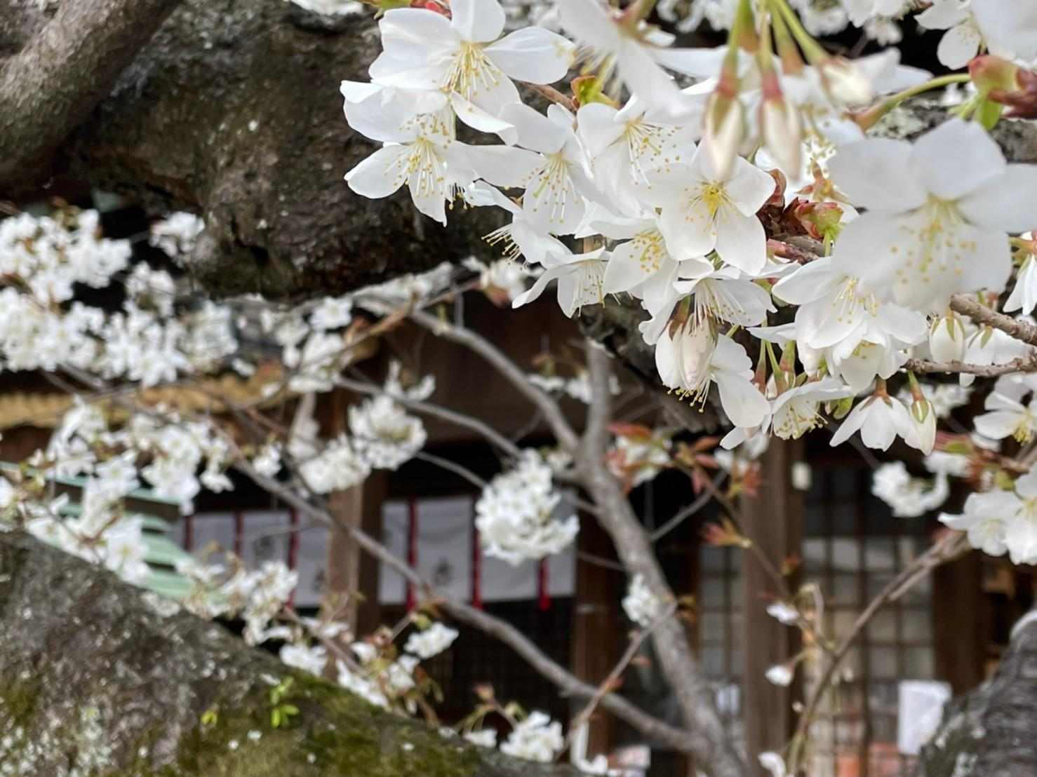 長崎 伊勢宮 早咲きの桜が見頃です!-1