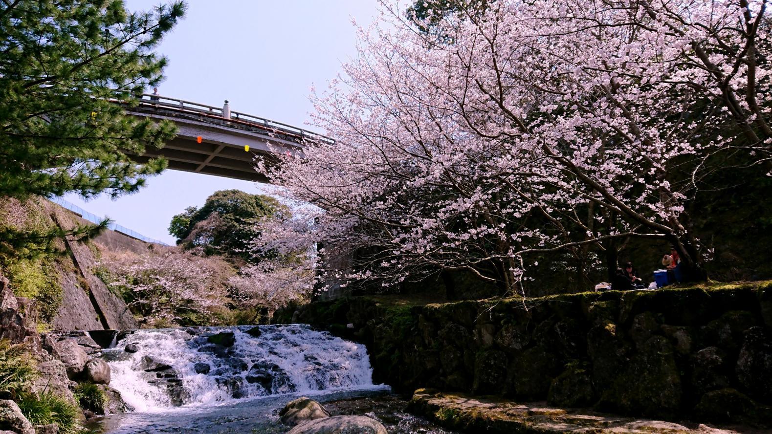 雲仙市 橘神社(橘公園)の桜-1