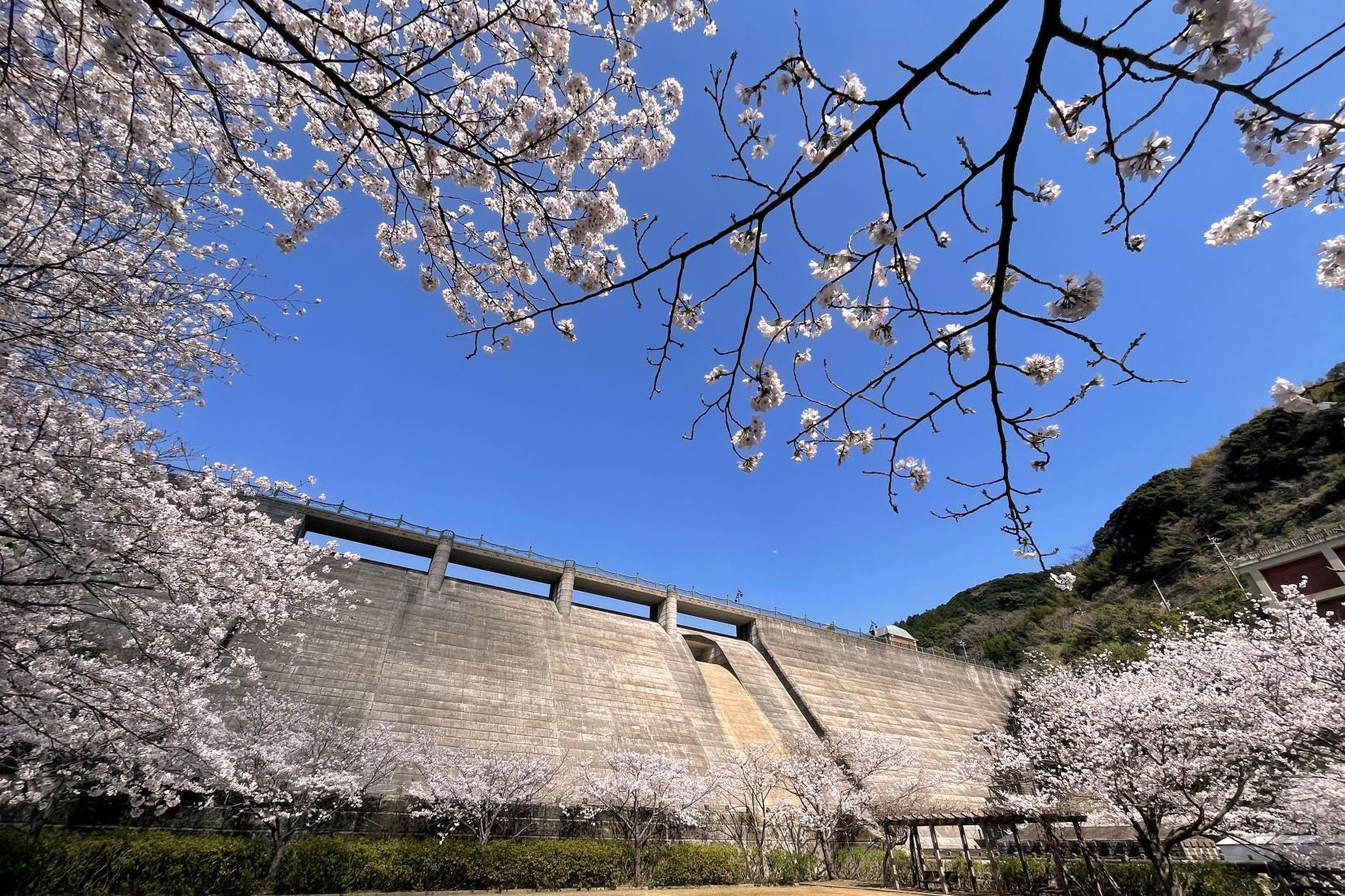 長崎市 西山ダム公園の桜-1