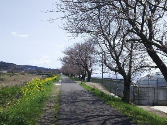 郡川の桜並木-1