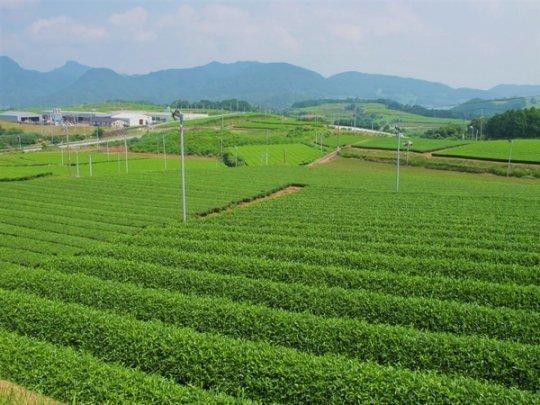 10:00 そのぎ茶畑-1