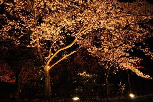 佐世保公園の桜(佐世保市)-1