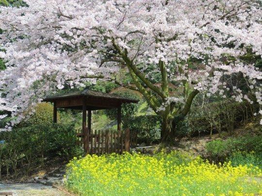 七ツ釜鍾乳洞の桜と菜の花(西海市)-1