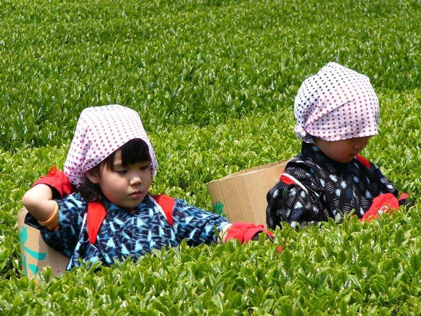 世知原の茶畑-1