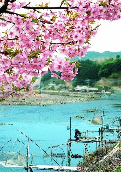 河津桜とシロウオ漁-1