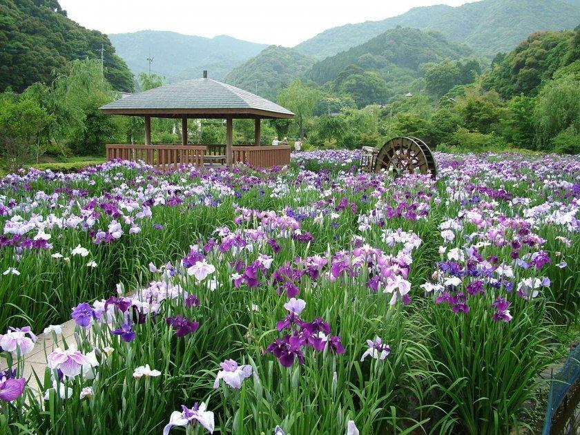 皿山公園花菖蒲園-1