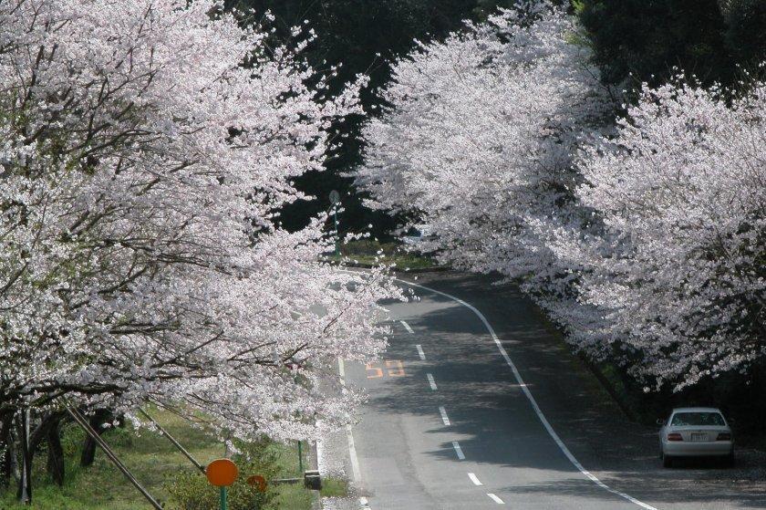 森山町「桜のトンネル」-1