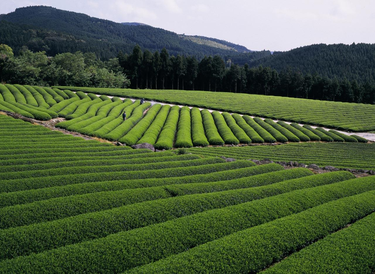 【Day 5】Higashisonogi Tea Plantation-1