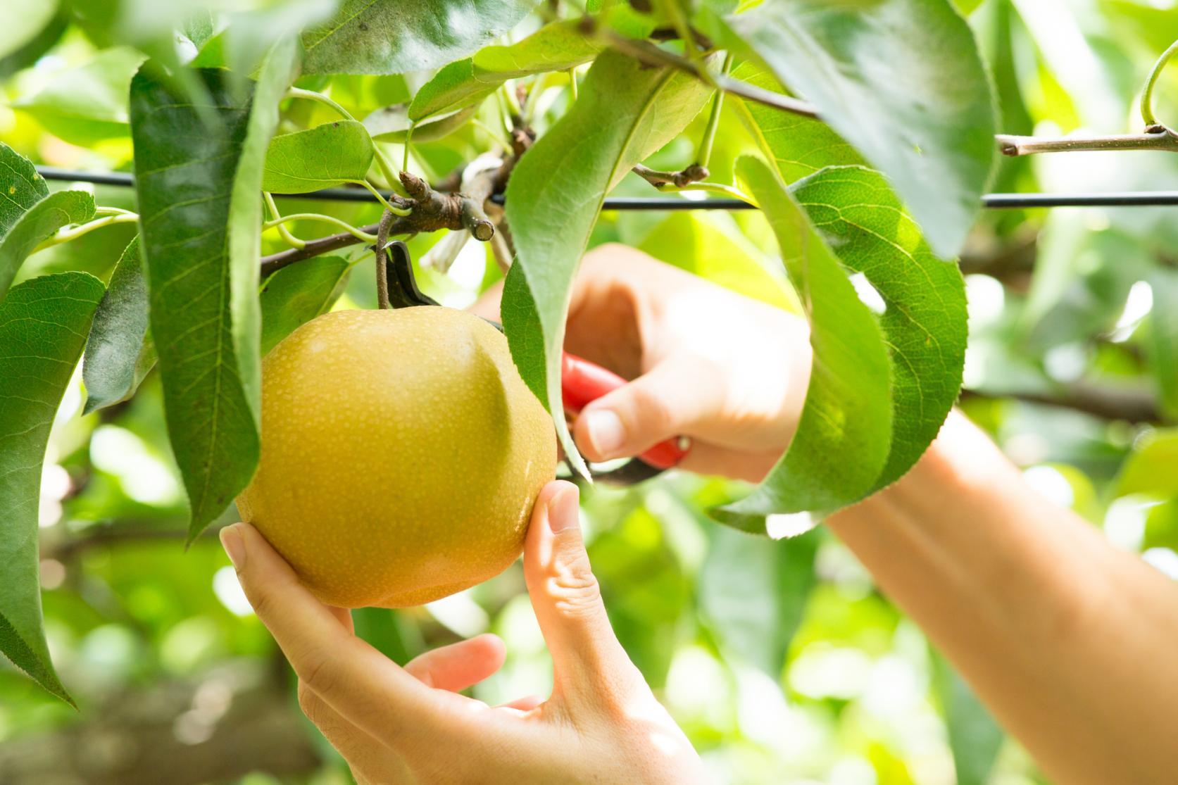 【Day 4】Fruit Picking-1