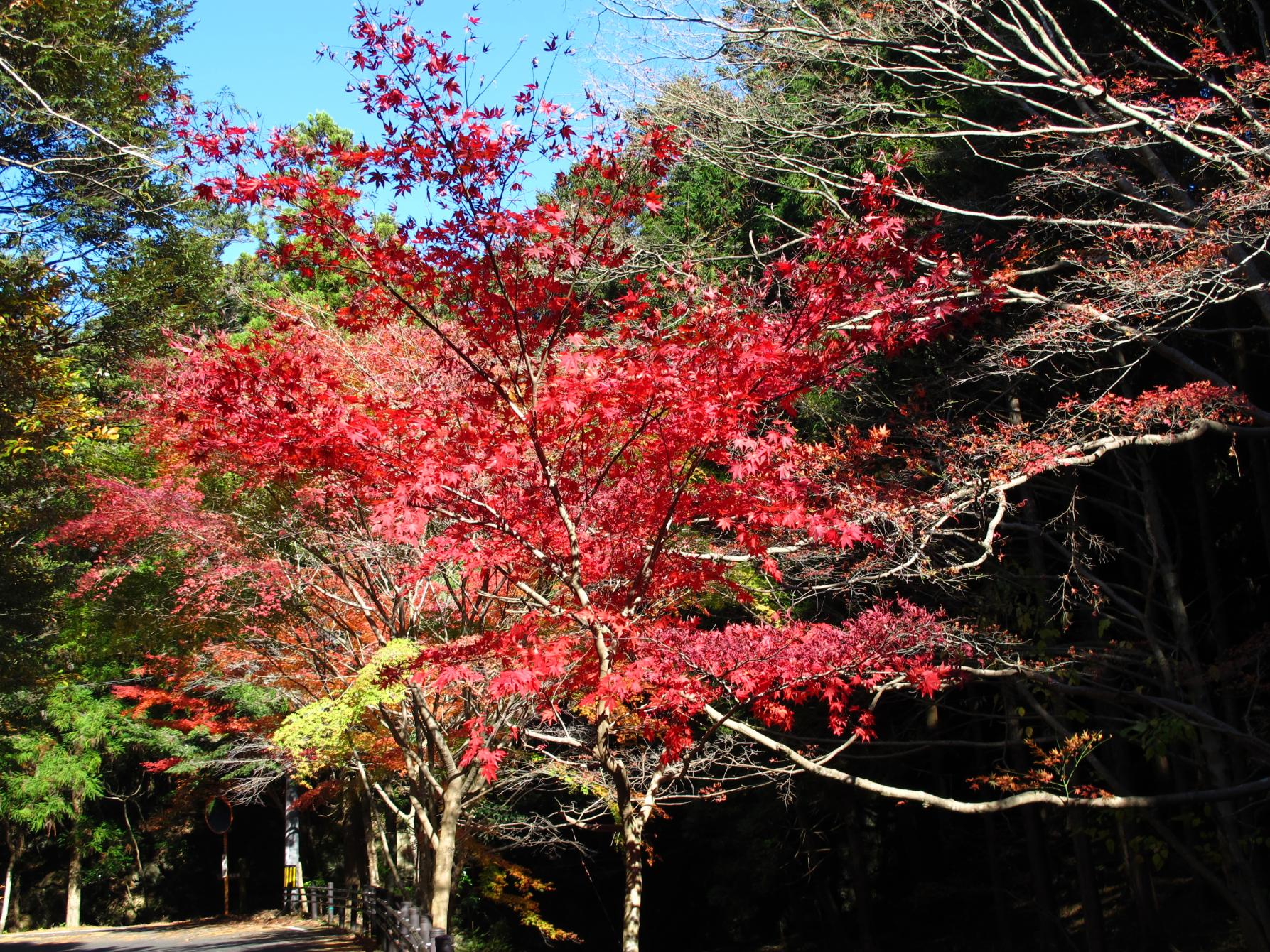 川沿いに連なる紅葉が水面に映る「舟志のもみじ街道」(対馬市)-3