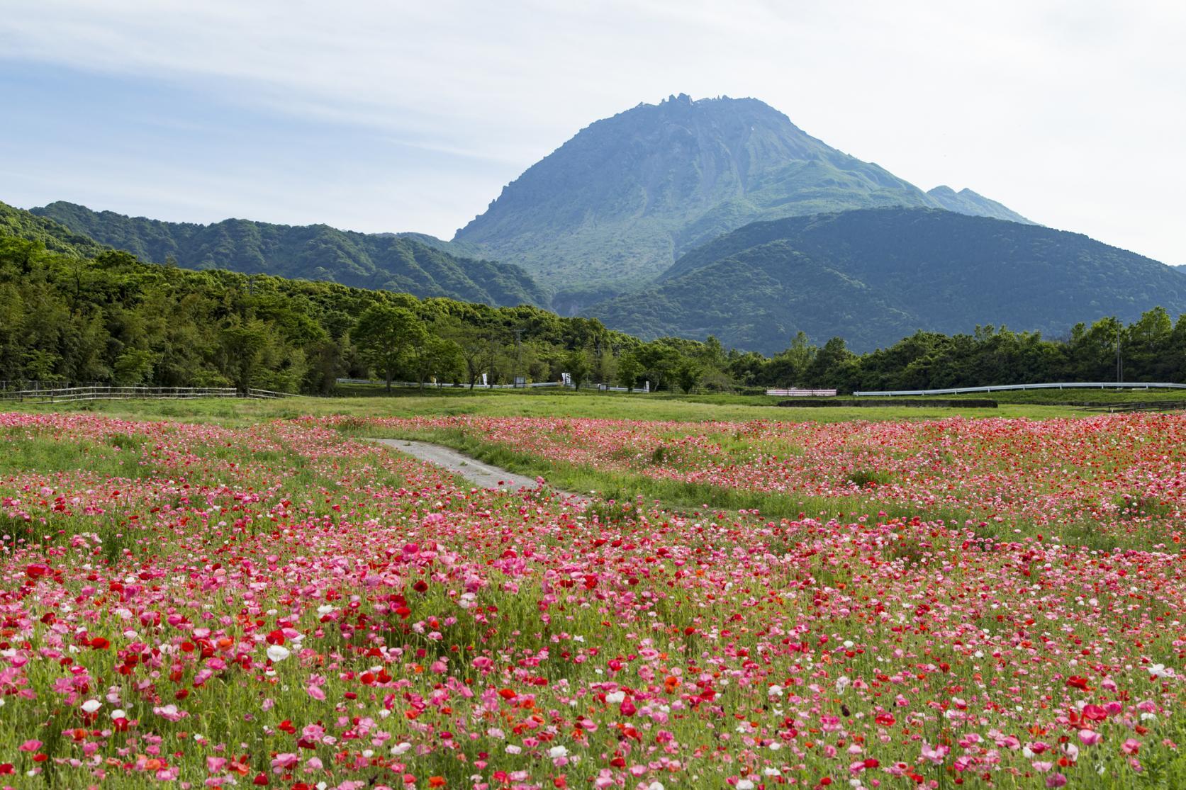 平成新山と春の花のコラボレーション(島原市)-0