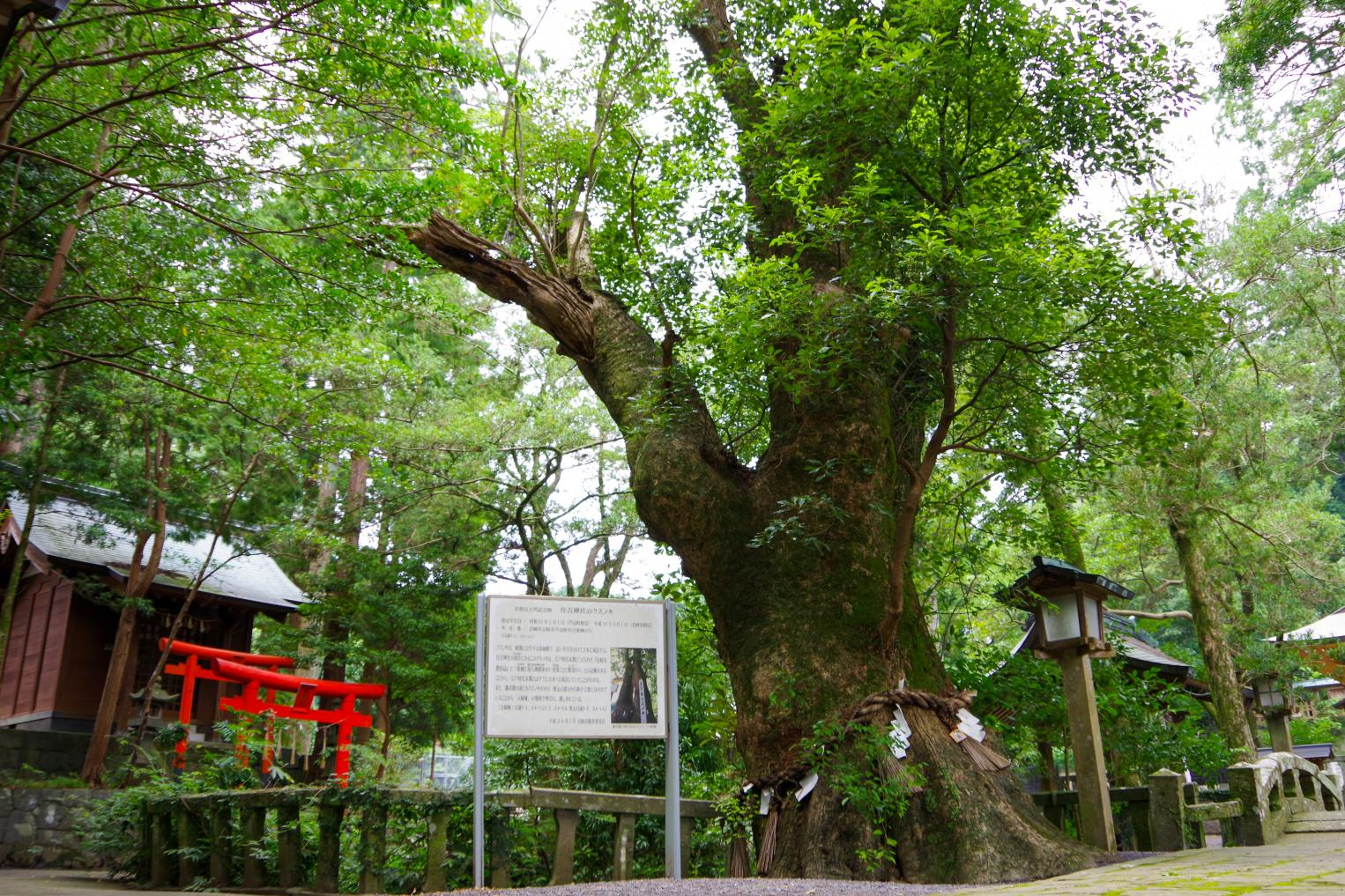 Sumiyoshi Shrine with a Fufu Kusu (Married Couple camphor Tree) That Makes Your Wishes Come True-3