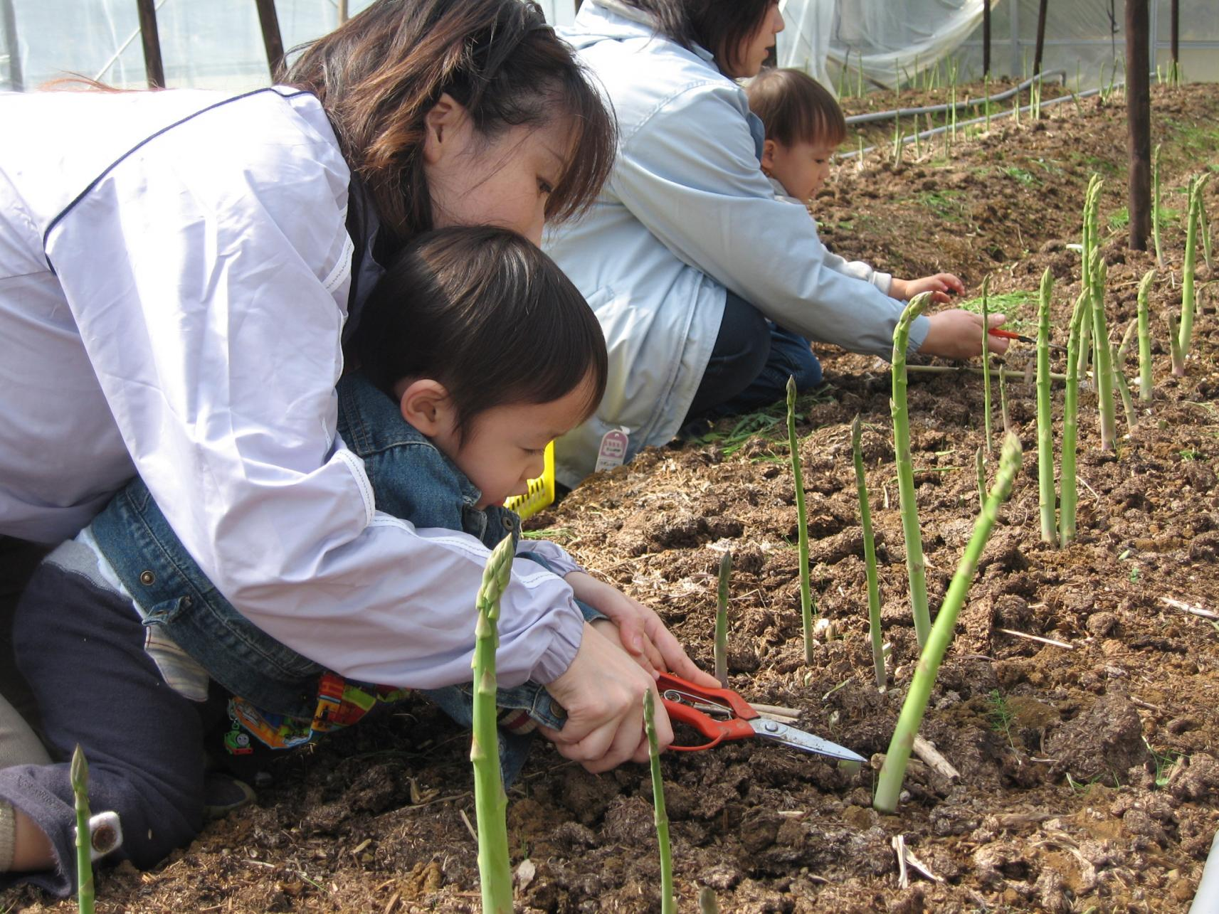 アスパラガス収穫体験-1