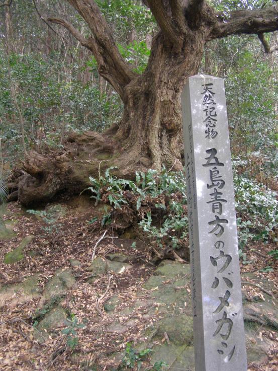 ウバメガシ (県天然記念物)-1