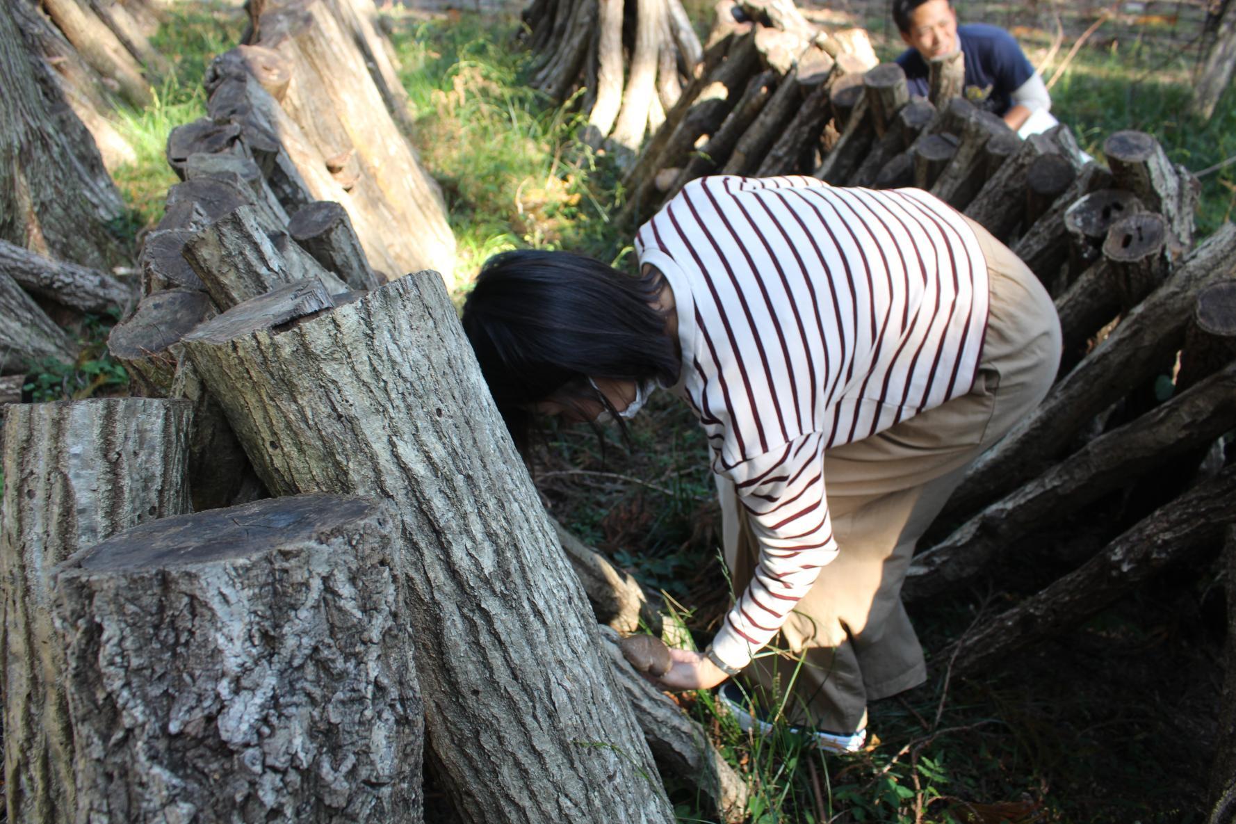 原木しいたけ狩り体験-2