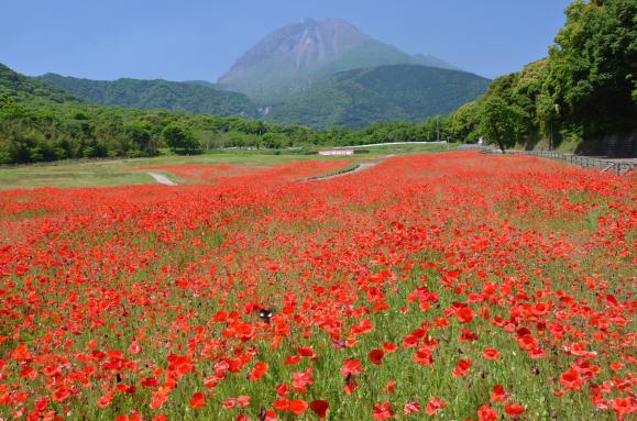 しまばら火張山花公園「春の花まつり」-0