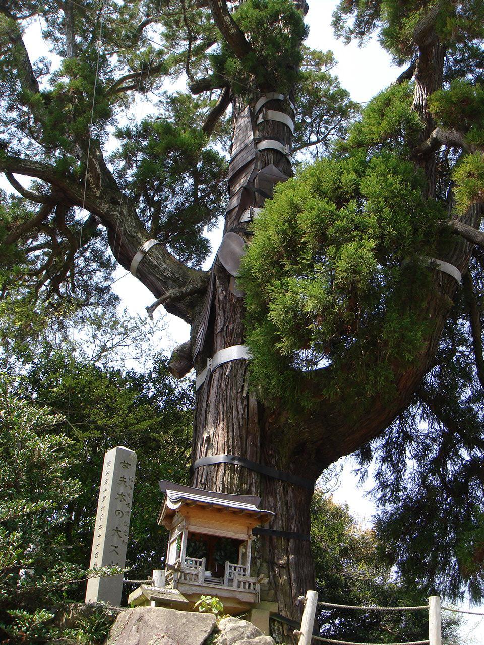 女夫木の大スギ-1