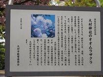 大村神社のオオムラザクラ(国指定天然記念物)-2