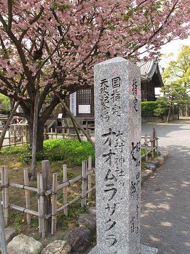 大村神社のオオムラザクラ(国指定天然記念物)-1