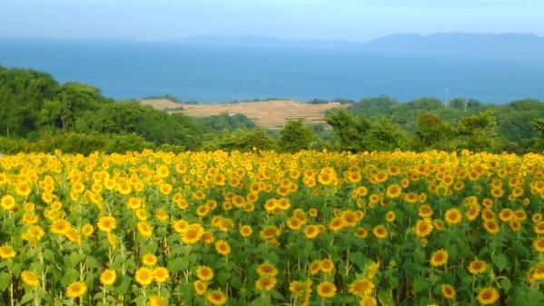 南島原ひまわり畑-6