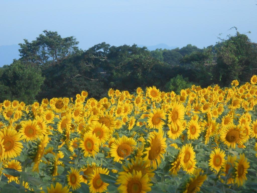 南島原ひまわり畑-2